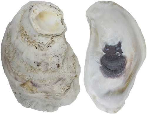 "The Shell Connection 3 to 4"" Oyster Shells Available as 2-3"", 3-4"" or 4-5"" in packages from 24 to 192"